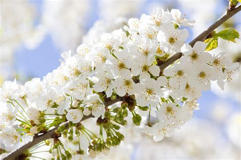 Branch With White Cherry Blossom In Spring Stock Image