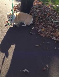 pembroke welsh corgi scamp the corgi gif | WiffleGif