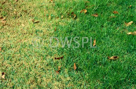 lawn worms pictures sod webworm damage to lawn