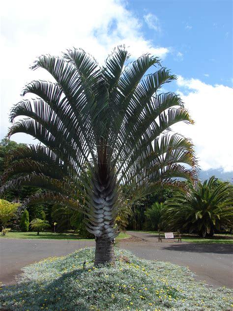 Palme Garten Und Landschaftsbau Berlin dypsis decaryi palmen palmen landschaftsbau und baum