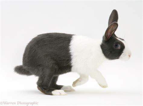 blue dutch rabbit photo wp