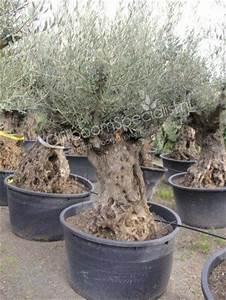 Olivenbaum Im Topf : olivenbaum produkt information winterharter olivenbaum ~ Michelbontemps.com Haus und Dekorationen