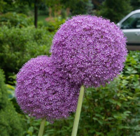 what to plant with allium allium giganteum ornamental onion