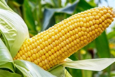 Annual maize crop under threat from Aflatoxin attacks ...