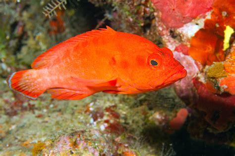 grouper strawberry fish cephalopholis serranidae taveuni fiji