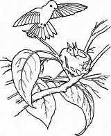 Hummingbird Coloring Pages Young Feeds Juniors Feed Colouring Printable Play Birds Hummingbirds Bird Sheets sketch template