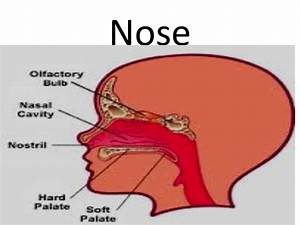 Sense Of Smell Nose Ppt Grade 3