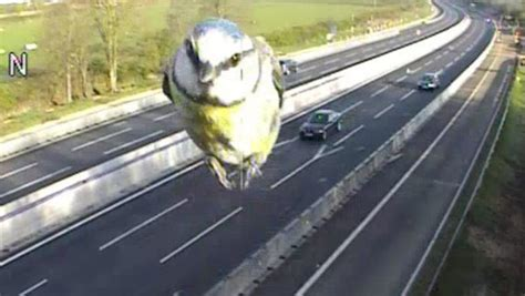 traffic camera captures closeup   speeding bird