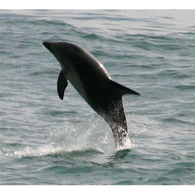 Picture 6 of 8 - Dusky Dolphin (Lagenorhynchus Obscurus