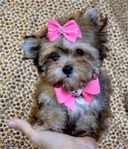 chorkie poo Quotes