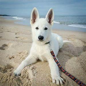 1093 best White German Shepherds images on Pinterest ...