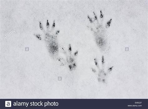 spuren der eichhoernchen sciurus vulgaris im schnee
