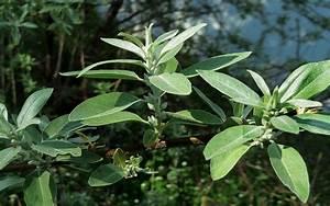 La Boheme Definition : d finition olivier de boh me elaeagnus angustifolia ~ Voncanada.com Idées de Décoration