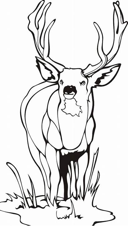 Deer Coloring Male Pages Meadow Animal Buck