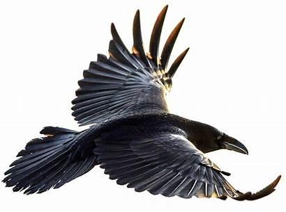 Raven Crow Transparent Flying Bird Crows Flight