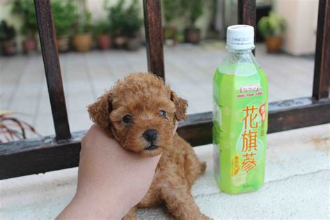 Lovelypuppy Female Toy Poodle Rm699 Only