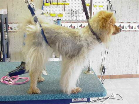 what dogs do not shed their coat truths and myths about dogs with coats