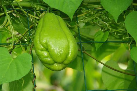 cuisiner chayotte ces légumes exotiques à planter