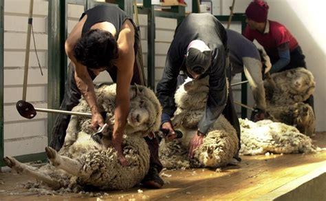 esquiladores uruguayos son contratados en espana