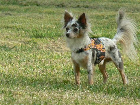 blue merle long haired chihuahua puppies  sale zoe