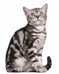 British Shorthair - Tabby | Cats | Breed Information | Omlet