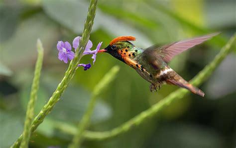 tufted coquette hummingbird feeding  porterweed asa wri
