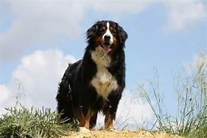 Wie Alt Werden Berner Sennenhunde : berner sennenhund charakter und wesen ~ Eleganceandgraceweddings.com Haus und Dekorationen