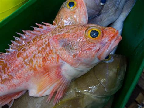 fish rose pound per grouper snowy market fresh