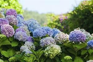 Welche Erde Für Hortensien : hortensien garten ~ Eleganceandgraceweddings.com Haus und Dekorationen