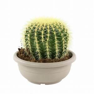 Pot A Cactus : cactus oursin 39 grusonii 39 30cm en pot autres marques jardinerie truffaut ~ Farleysfitness.com Idées de Décoration
