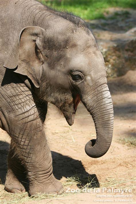 elephant zoo asie palmyre asiatic animals fr