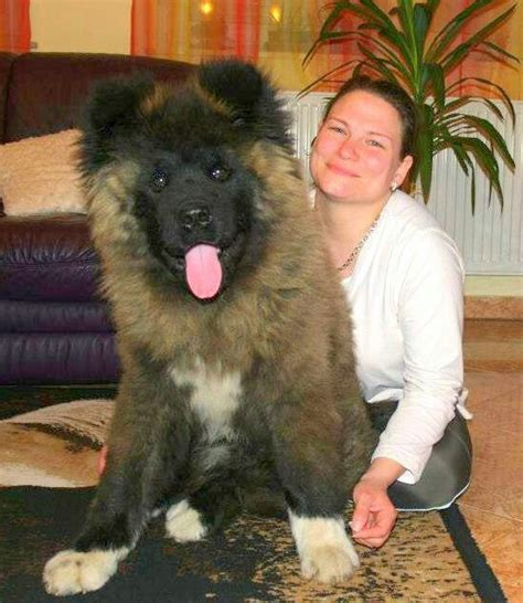 17 best images about long haired akita on pinterest the