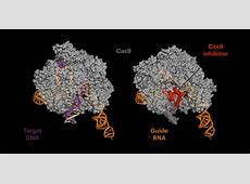 AntiCRISPR proteins decrease offtarget side effects of