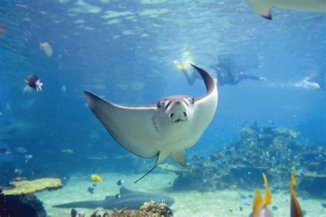 Stingray Boats Australia by Stingray Fish Images And Videos Britannica
