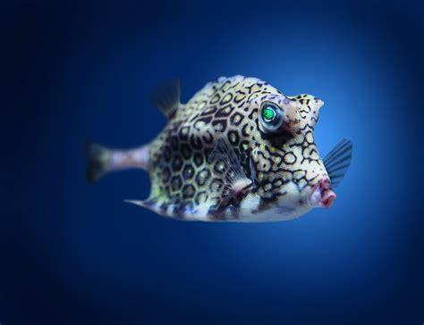 wallpaper boxfish cowfish atlantic indian pacific