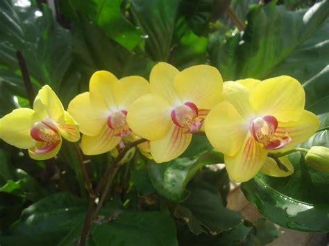 gambar bunga anggrek bulan wallpaper pesona bunga anggrek