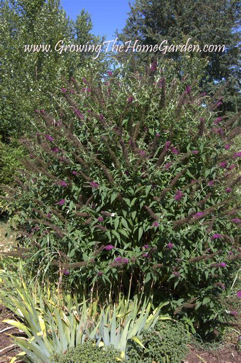 drought tolerant shrubs drought tolerant garden plants growing the home garden