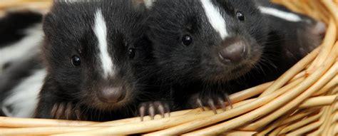 skunks as pets skunks as pets skunk com