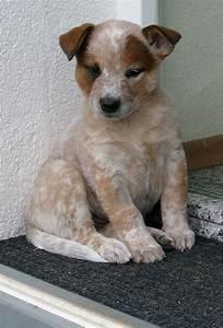red ticked australian cattle dog | Australian Cattle Dogs ...
