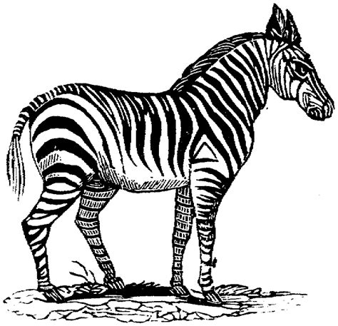 zebra heart  coloring pages