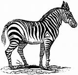 Zebra Coloring Pages Animals Wildlife Cliparts sketch template
