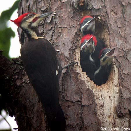 play yard baby passport to archive wildlife pileated