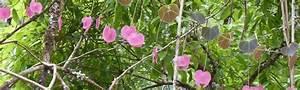 Support Plantes Grimpantes : plantes grimpantes p pini re nature et tropiques ~ Dode.kayakingforconservation.com Idées de Décoration