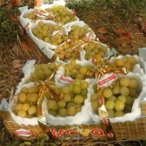 varietà uva da tavola uva da tavola la pugliese luisa debutta sul mercato
