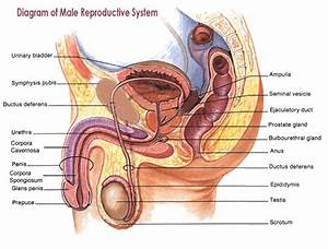 Think Science  U00bb Male Reproductive System Diagrams