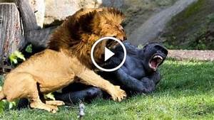 """Search Results for """"Lion Vs Tiger Who Wins"""" – Calendar 2015"""