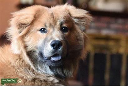 Chow Mix Lab Dog Dogs Breed Breedyourdog