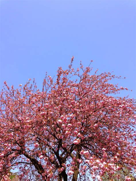 Tempat tersebut dinamai bukit sakura kemiling atau taman sakura. Pinkbuble In Da House| New Zealand Beauty and Lifestyle Blog