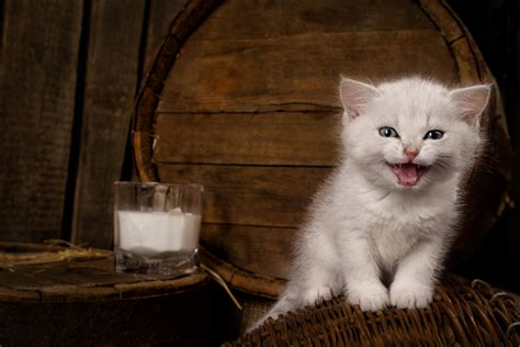 Can Kittens Drink Cow's Milk?