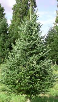 Canaan Fir Christmas Tree Seedlings by Me Amp My Muse Day 509 O Christmas Tree The Walker Estate